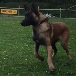 Reunited dog 13 Sep 2017 in rathfeigh_____. UPDATE REUNITED....STOLEN....Ashbourne Gardai are investigating the theft of 4 Belgian Sheperds (known as Malinois's) from kennels in the past 3 days from Cushenstown, Rathfeigh.  A 7 year old large male Belgian shepherd malinois.  A 12 months old male Belgian shepherd malinois..  2 x 12 month old female Belgian shepherd female (one has slight injury on front toe and limping a little) If you are offered one of these dogs or see them for sale please call Ashbourne Garda Station on 01-8010600 or the Garda confidential line 1800666111.