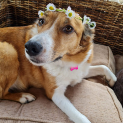 Lost dog on 14 Apr 2021 in Galway. BOO - Female Collie X, Beige/white 4-5 years old. Missing from Gurteen/Athenry Wed 14th April. Microchipped, pink collar with tel #. Very skittish & needs her doggy brother.