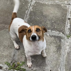 Lost dog on 14 Jul 2019 in Dublin tallaght . My lost dog tobi he is from the tallaght area in dublin last seen in rossfield he is a small jack russell if anyone finds him please tell me i am worried sick about him.