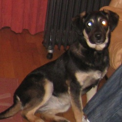 Found dog on 18 Jun 2010 in cork. Medium-sized 10 month-old black and brown lab/collie cross girl, answering to the neame of Judy.  Wearing tatty red collar. Missing since Monday 14/6/10.
