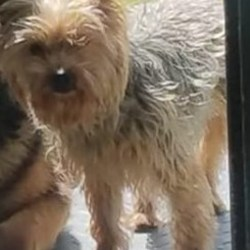 Lost dog on 15 Aug 2019 in North East Inner City Dublin. Luffy, an adorable 3 year old Yorkshire terrier went missing a week ago in North East Inner City, Dublin. Luffy's owner John is utterly distraught without him. Luffy is microchipped but his owner has not been able to trace him yet. Luffy is extremely friendly and docile. He is probably very scared and desperate to get back home. If you see a dog matching this description, please contact John at +343 87 342 3277 or +91 75790 75001. Or email me at salonisudanlegal@gmail.com