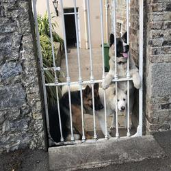 Found dog on 15 Aug 2019 in Saggart, Citywest, Rathcoole . White female American Akita her name is Ruby she is 1 and half she went missing in the Saggart / Citywest area on Thursday evening / Friday. She is micro chipped. She is the one in the middle