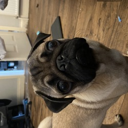 Lost dog on 15 Aug 2020 in Ballincollig, Cork. 6month old pug, male,  not neutered, microchipped. Last seen in Ballincollig.