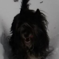 Lost dog on 15 Aug 2020 in Mullagh/ Whitegate Cavan . Small robust black/grey rough haired terrier. Old and deaf.