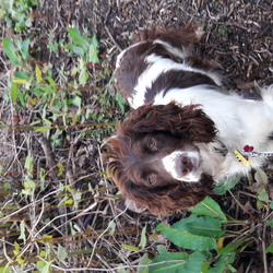 Lost dog on 15 Dec 2020 in Parteen, Co.Clare (near Limerick city). Her name is Rosie. She is a chipped, neutered and tagged brown and white springer spaniel. She's 4 years old and very shy rescue dog.