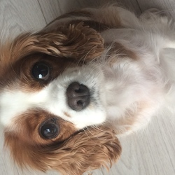 Lost dog on 15 Mar 2019 in Drumcondra, D09. Our Polly, petite king charles cavalier, white with brown spots is missing. Kids are desperate. Please call me: 0871220604