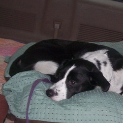 Lost dog on 15 Oct 2009 in Waxahachie, Tx--could be anywhere now. Lost our Aussie in Waxhahachie, tx on 10-15-2009. She could be anywhere by now. She is friendly, but timid with strangers. Please help us find her. We are very sad. Reward!! Her brother is missing her too. She has a tiny speck in her eye. 6 YRS.