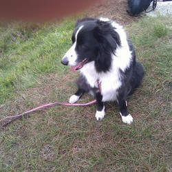 Lost dog on 15 Oct 2018 in Templeogue/Tallaght. Female Border Collie, strayed from Tymon Park, Templeogue on Monday 15/October at 8pm