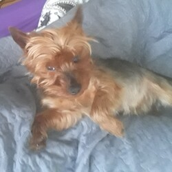 Found dog on 16 Aug 2020 in Cavan. Yorkshire terrier Cavan we found our dog , big thanks to everyone who helped us allocating him.