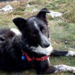 Lost dog on 16 Dec 2017 in Pottery Rd Dun Laoghaire . Missing Border Collie Ella has microchip 