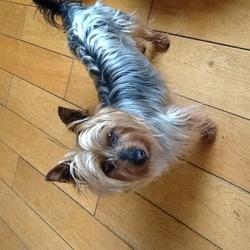 Lost dog on 16 Dec 2018 in Derrykearn Abbeyleix Co. laois. Australian Silky Gold/Silver
