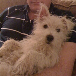 Lost dog on 16 Jan 2010 in Monasterboice, Co Louth. westie six months old. White with one floppy ear and pink nose. Missing from Monasterboice, Co Louth Saturday 16/1/10. Name Coco. Please contact Maria 0872530072