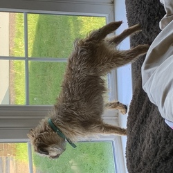 Lost dog on 16 Jun 2020 in Blessinton. 2 year old female border terrier called Harriet