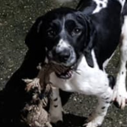 Lost dog on 16 Nov 2020 in rathcoole. stolen...2 dogs stolen in rathcoole last nite brown and white and black and white Springer spaniels if anybody knows or seen anything please contact me and if everyone can share my post thank you please 😥stolen from the back of marsella chipper rathcoole very friendly dogs please if anybody knows anything thank yo