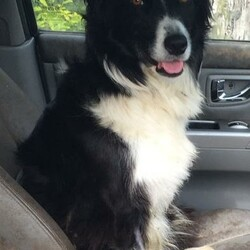 Reunited dog 16 Oct 2020 in Rathangan, Co. Kildare . FOUND SAFE AND WELL! Samhradh - B&W Collie with front leg amputated. Missing from Rathangan to Bracknagh road, Co. Kildare on 16th October