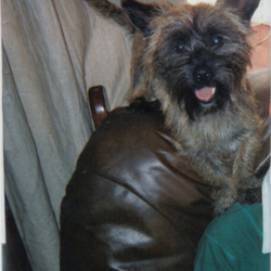 Lost dog on 16 Sep 2009 in Cork. 3 Year old male, Cairn Terrier, Brown Wirey Coat with black face,brown collar no tag Contact 087 6489364