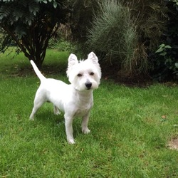 Lost dog on 17 Feb 2018 in Athlone, Westmeath. Family dog was missing in Athlone on Coosan area on Saturday 17.02.18 about 12 noon. It's a male, west highland white terrier breed (Westie). He's small, all white dog and is microchipped. He has no collar. If you have any information about this dog please let me know or if you see him please hold him for me, he is not dangerous. Thank you... The finder will be rewarded. 
