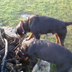 Lost dog on 17 Feb 2018 in Derrykearn Abbeyleix, Co Laois. Two male Rottweiler's STOLEN Abbeyleix area, Laois.
