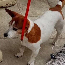 Lost dog on 17 Jul 2020 in Killester Dublin 05. Jack Russell missing from 22:00 17th July 2020 in the Middle Third area of Killester North Dublin.