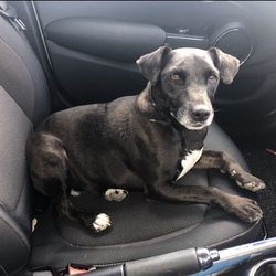 Lost dog on 17 Jun 2020 in Saggart . Female patterdale, sprayed and microchipped. Missinf from Saggart area since Tuesday 16/6. If found please call 0868135854/0862555480