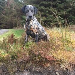 Lost dog on 17 Jun 2020 in Sligo. Lost - Our dog is missing since Wednesday 17th of June from Glann/Geevagh Sligo, 2 yrs old mix Dalmatien/ setter. Microchipped & neutered.  If anyone has seen him please contact us.