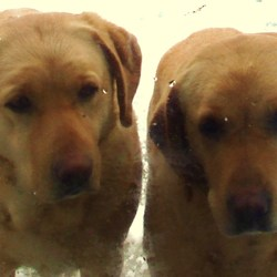 Lost dog on 17 Mar 2010 in Dublin. 2 Missing Golden Labradors. Female, ,Sisters,Neutered 6 years old. Went missing in, glenasmole Bohernabreena/tallaght area.