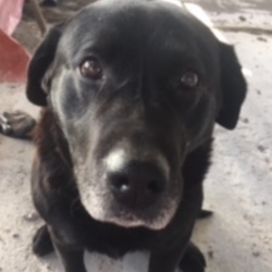 Lost dog on 17 Mar 2020 in Co Meath . Older Black Lab missing from Rathmore, Athboy, Co Meath. Name is Rocky and he's chipped. Please Please contact me if you see him.