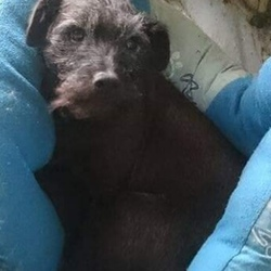 Lost dog on 17 Nov 2018 in Kilmainham, Kells, Co. Meath. Small black terrier (Patterdale type) 14 years old.