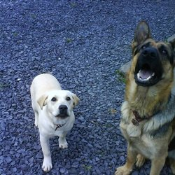 Lost dog on 18 Jan 2010 in Meath. 2 Dogs lost in the Meath area (Carnaross), German Shepard (Male) & Golden Retriever (Female) Wearing collar & ID tag, very friendly, please phone 0864042522