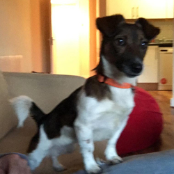 Lost dog on 18 Nov 2018 in Chapelizod, Dublin 20. Lost - Female Jack Russel Cross, age 6, full tail, pink collar. Please call Grainne on 087 2341710