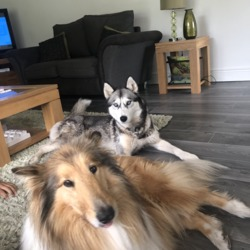 Lost dog on 18 Nov 2019 in Glenville Cork. Siberian husky and rough collie missing from the Glenville area cork, both neutered and microchipped 