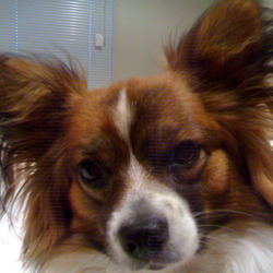 Lost dog on 18 Sep 2009 in Blarney/Donoughmore. Lost Papillion, Oscar on Fri 18th Sept from Donoughmore/Blarney area in Cork, micro chipped, not neuted, thanks for looking.