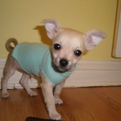 Lost dog on 18 Sep 2009 in Dublin city centre. I lost a small beige chihuahua in Dublin city centre on 18.9.2009, it's a male, doesn't have any chip or collar... I'm happy to reward you, please call with any infromation, thank you!
