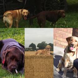 Lost dog on 19 Dec 2017 in Ballyboughal,dublin. 2 labradors.golden one responds to the name Flynn and the brown one is called riley