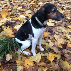 Lost dog on 19 Dec 2019 in East Wall. *FOUND*Missing mongrel, terrier/beagle mix, 8/9 years old. Went missing last night from East Wall. Black, brown and white, neutered and micro chipped with a phone number on his collar.