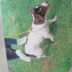 Lost dog on 19 Feb 2021 in St Vincent Street, D8. Female named Chicky.