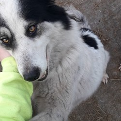 Lost dog on 19 Jan 2019 in Killorglin Co.Kerry. Black and white collie missing since Saturday night the 19th of January. Extremely friendly. From the KILLORGLIN area COUNTY KERRY. If found please contact 0876184359 or 0871231650