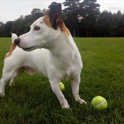 Lost dog on 19 Jun 2019 in Rathfarnham. Baxter, a male jack Russell went missing on Wednesday night from Rathfarnham. Please call Lisa if u found him on 0851167063
