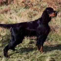 Lost dog on 19 Mar 2010 in Portarlington Area. Lost March 19th. Portarlington Area. Gordon Setter. male 5 years old. Reward Offered