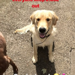 Lost dog on 19 Oct 2018 in Dunsany, County Meath. Banni is a 1 year old male golden retriever. He was not wearing a collar and isn't chipped. He went missing from Dunsany Co Meath on Friday 19th of October