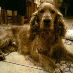 Lost dog on 20 Dec 0009 in rosemount,Moate,Co.Westmeath. Benji,Male golden cocker spaniel,3yrs,quite,friendly. Contact Niall 0879548792 €500 Reward