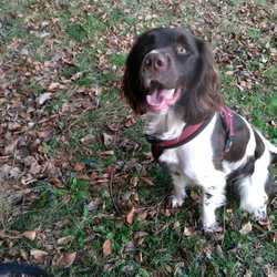 Lost dog on 20 Feb 2019 in Ticknock Dublin. DOG FOUND  Buster - cocker spaniel. Missing around ticknock parking in Dublin today.  please text 085 720 5589