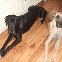 Lost dog on 20 Jan 2010 in Co Tipperaru. Lost In Mullinahoen Co Tipperary. 2 Great Danes, one male, black with white paws and chest. Female is fawn with black mask. Both are microchipped. 087 0579490