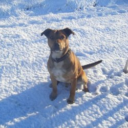 Lost dog on 20 Jan 2010 in Kildare. Buddy is missing from the Cherryville, Kildare area since the 20/01/2010. He is a staffordshire terrier cross, not neutered and wearing a black studded collar. He is very friendly and approachable.