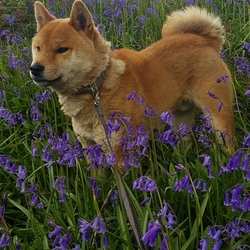 Lost dog on 20 Jun 2019 in Gortin Omagh Co  Tyrone. MISSING. My beautiful boy PJ went missing from home on Thursday morning. PJ is a red shiba inu, neutered and microchipped.  He is sorely missed. Please report any information or hand  this beautiful boy in anonymously and reunite us with our beloved dog
