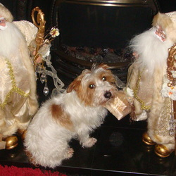 Lost dog on 20 Mar 2010 in monaghan. Missing since 20th march from Clones co monaghan, Jack russell male entire, microchipped but no collar, mostly white with tan patches. Short clipped hair round head and long hair on body. Greatly missed member of the family.