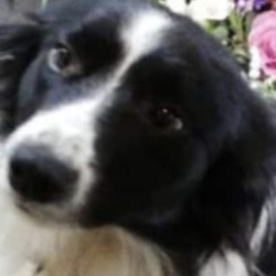 Lost dog on 21 Aug 2019 in West Clare . lost..Missing from West Clare with 4 long weeks. Jessie is a little border collie, she's very cute and very shy. She is microchipped.DSPCA Lost & Found Pets
