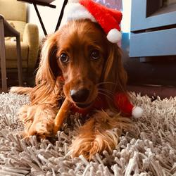 Lost dog on 21 Dec 2019 in Donadea. 2.5 year old microchipped golden red colour cockapoo called Millie disappeared on Saturday 21st in Donadea area around lunchtime. She is very friendly and we are missing her so much ! She wears a green collar.