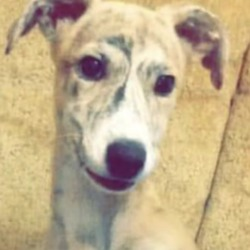 Lost dog on 21 Feb 2019 in Ballylongford.. STOLEN....Two men stole this female pup, saluki collie hound mix at approx 9pm this evening from its owner close to Centra Ballylongford. The owner was threatened with a nail bar and the dog & men left in a red Toyota car (tinted back windows). Please pm me if you see or are offered this beautiful uniquely coloured dog for sale. SHARE SHARE SHARE and keep your pets safe.All Lost Dogs -Ireland