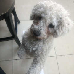 Reunited dog 21 Feb 2021 in Swords . White, medium sized Bichon Frise who lives and was lost in the swords area. Very loved dog, part of the family, please if you have any information let 